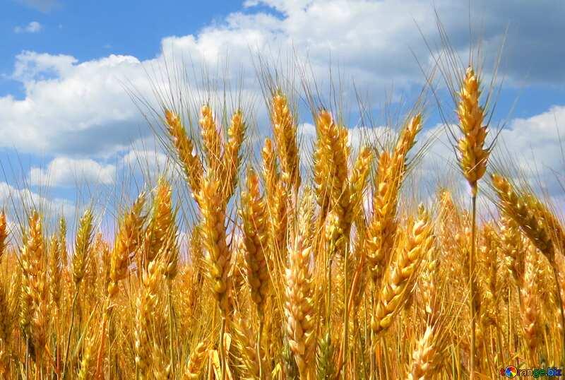 Bright colors. Ukrainian wheat. №27257