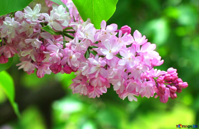Cover. Nice sprig of lilac. №37432