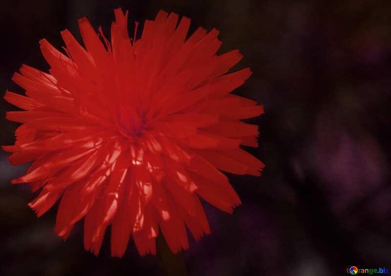 Red Dandelion dark flower background №23056