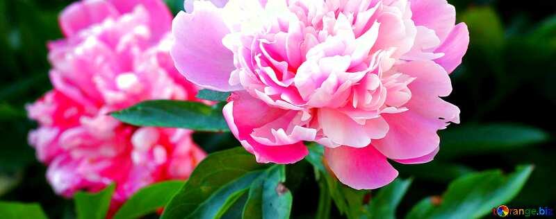Обложка. Цветы пионы . №32639