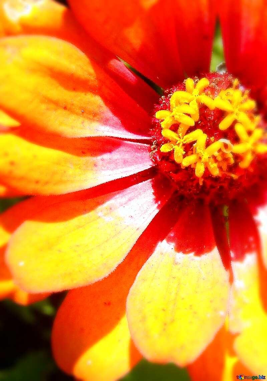 tsiniya flower №3219