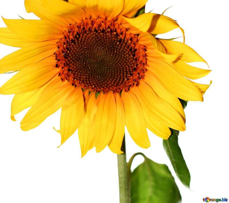Обложка. Подсолнух цветок на светлом фоне. №32791