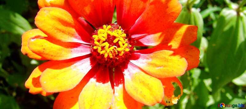 Обложка. Цветок оранжевого майора. Циния. №3219
