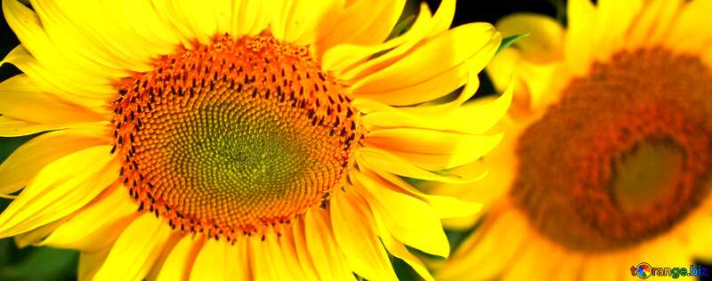 Обложка. Красивые цветы подсолнуха. №32817