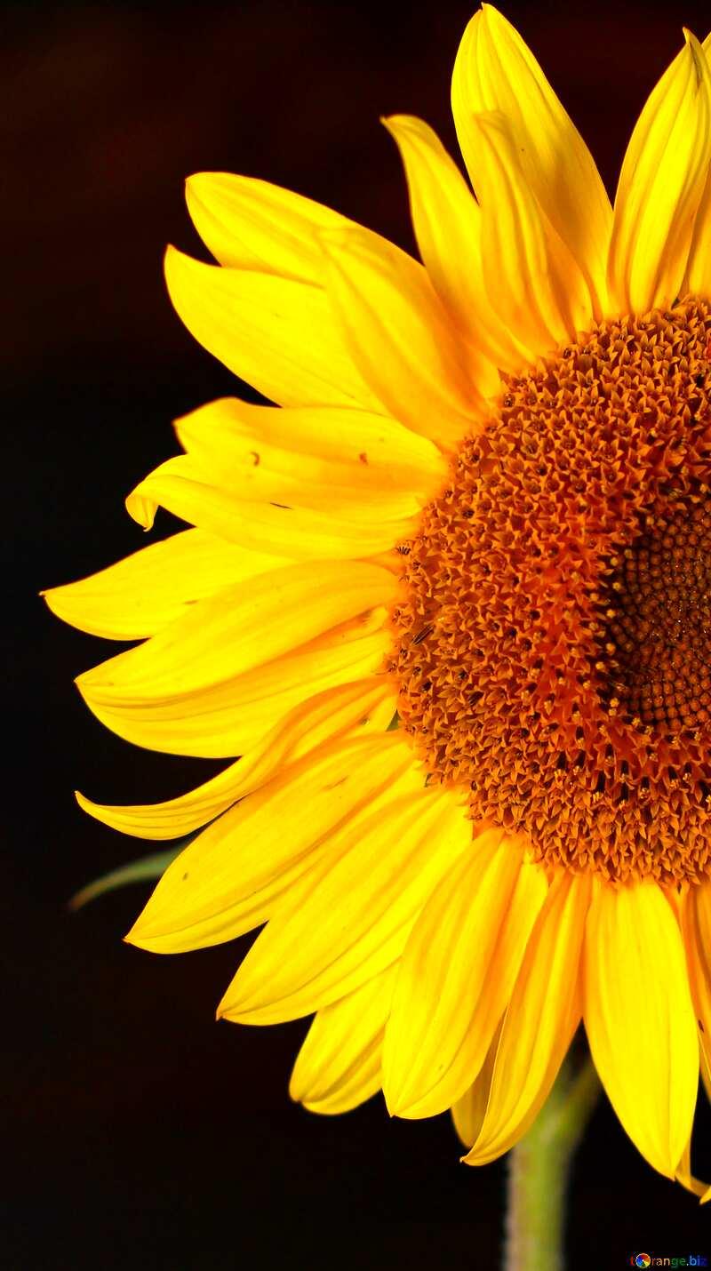 Sunflower background №32797