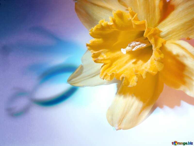 Оранжевого цвета. Нарцисс на поздравление с 8 марта. №341
