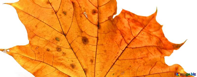 Обложка. Сухой лист клена. №37254