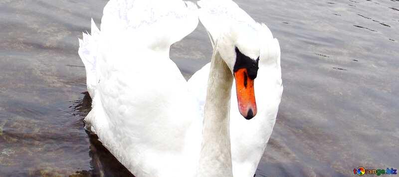 Обложка. Белый лебедь сложил крылья в виде сердца на фоне уток.. №385