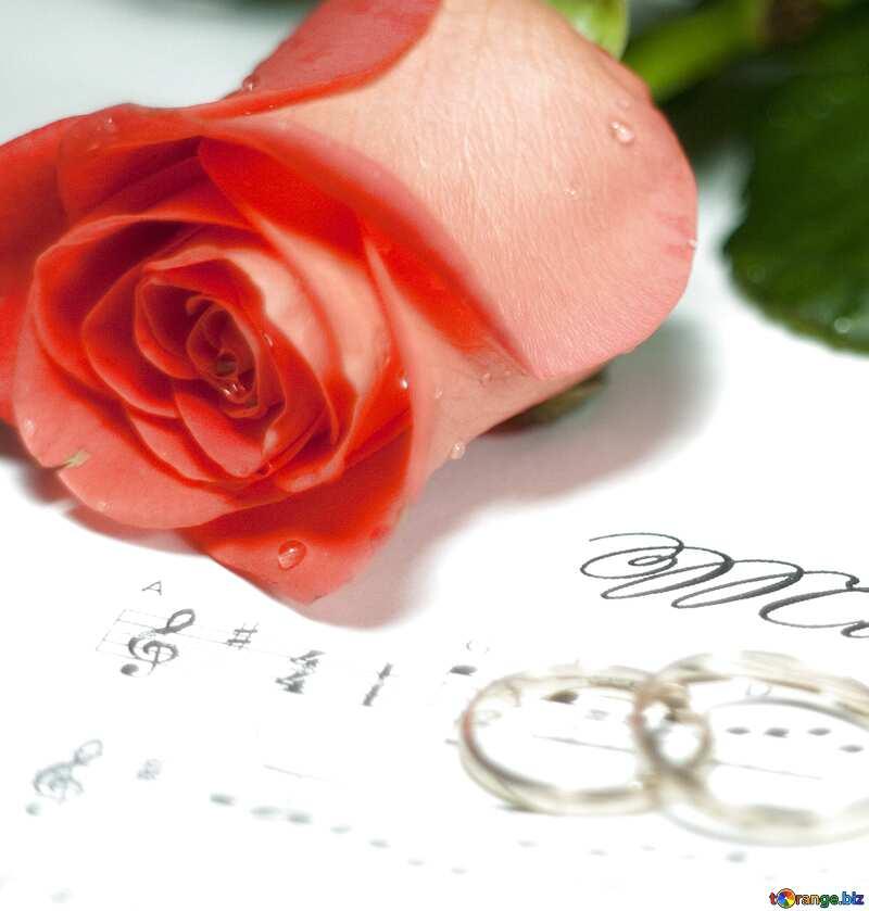 Роза и кольца №7230