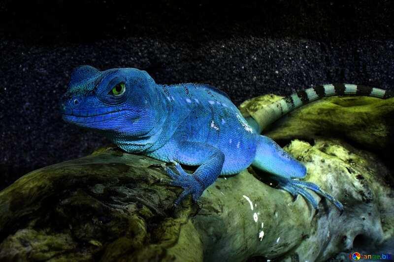 Blaue Farbe. Eidechse. №10697