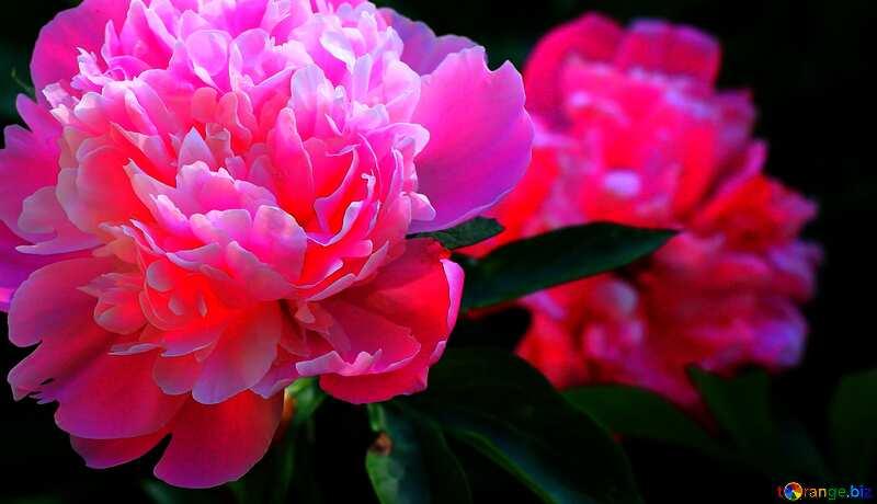 Abdeckung. Pfingstrose Blumen. №32661