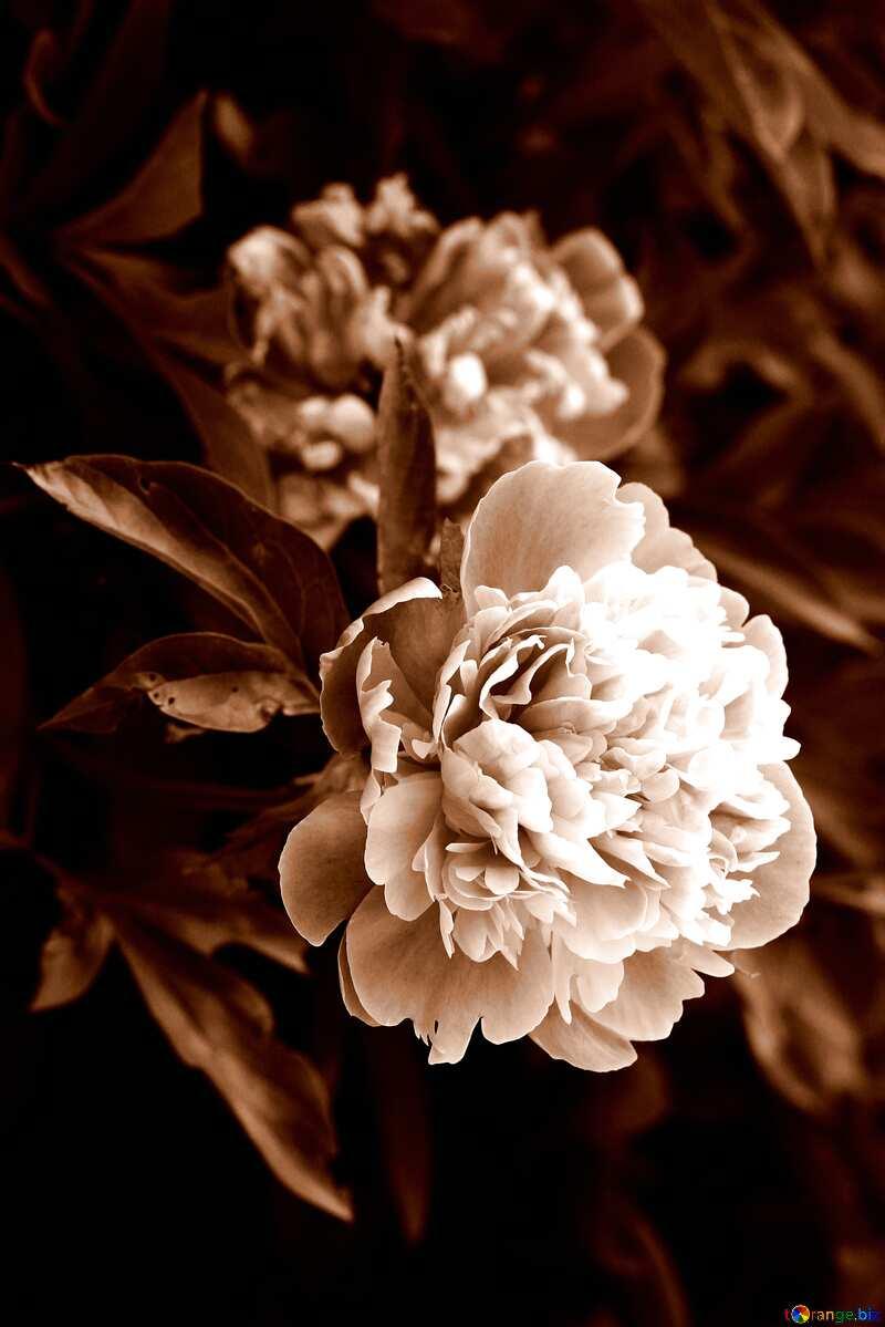 Monochrom. Blüten der Pfingstrosen. №32639