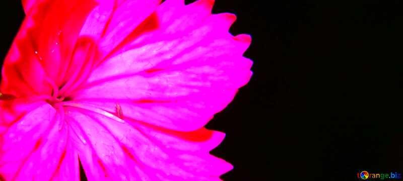 Carnation flower background №33339