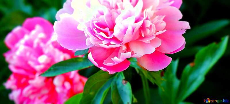 peonies Flowers №32639