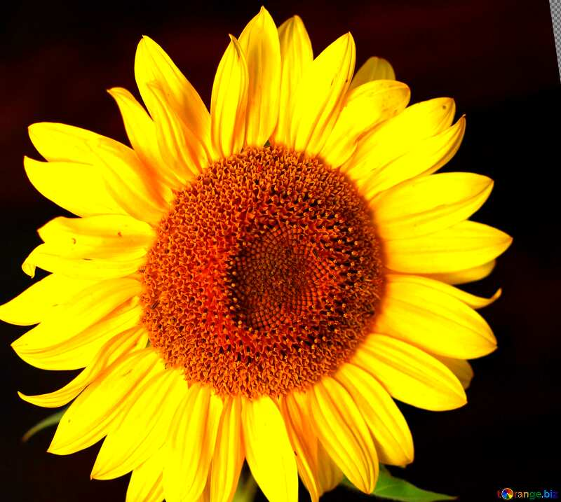Abdeckung. Sonnenblume Blume auf schwarzem Hintergrund. №32797