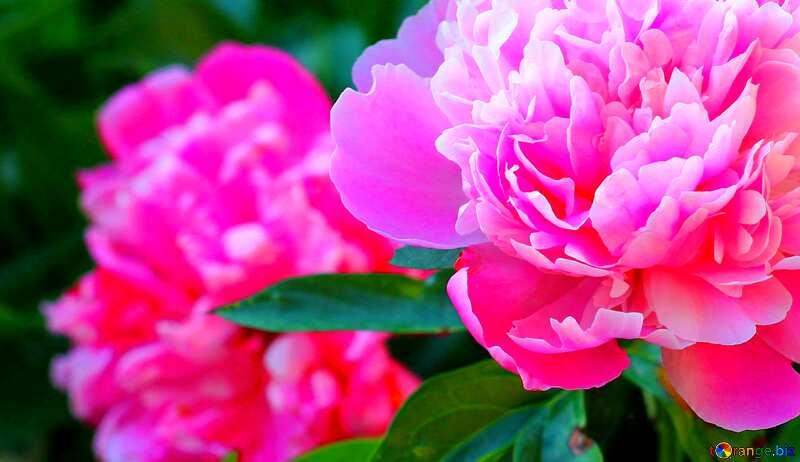 Abdeckung. Blüten der Pfingstrosen. №32639
