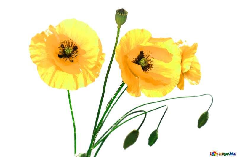 Yellow poppies flowers №37136