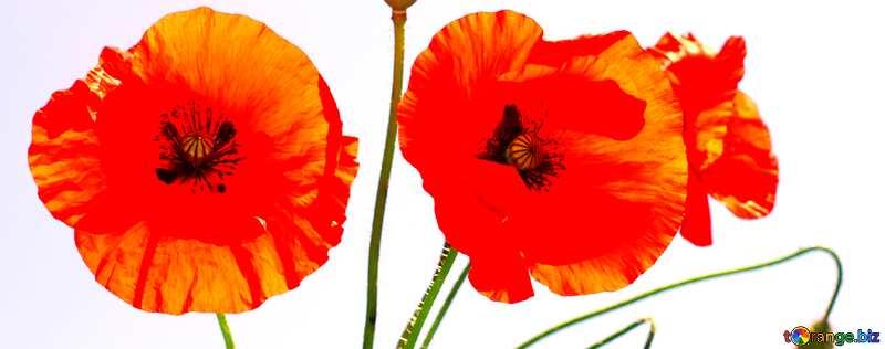 Abdeckung. Bouquet von Mohnblumen isoliert. №37136
