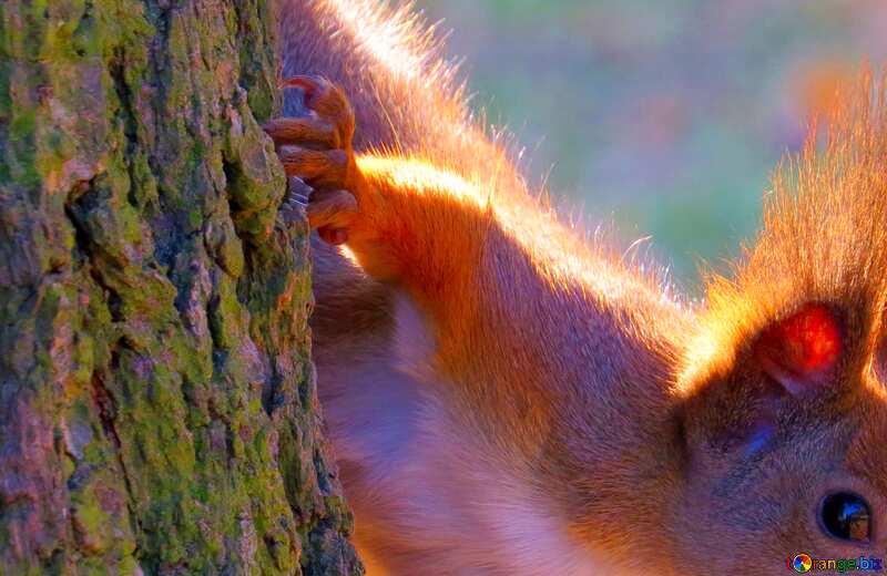 Abdeckung. Tier Eichhörnchen. №35682