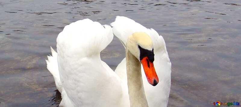 Abdeckung. Weiß Schwan gefaltet sein Flügel in Form von Herz auf Hintergrund von Enten.. №385