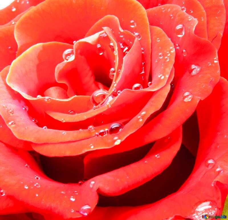 Rose flower drops №17097
