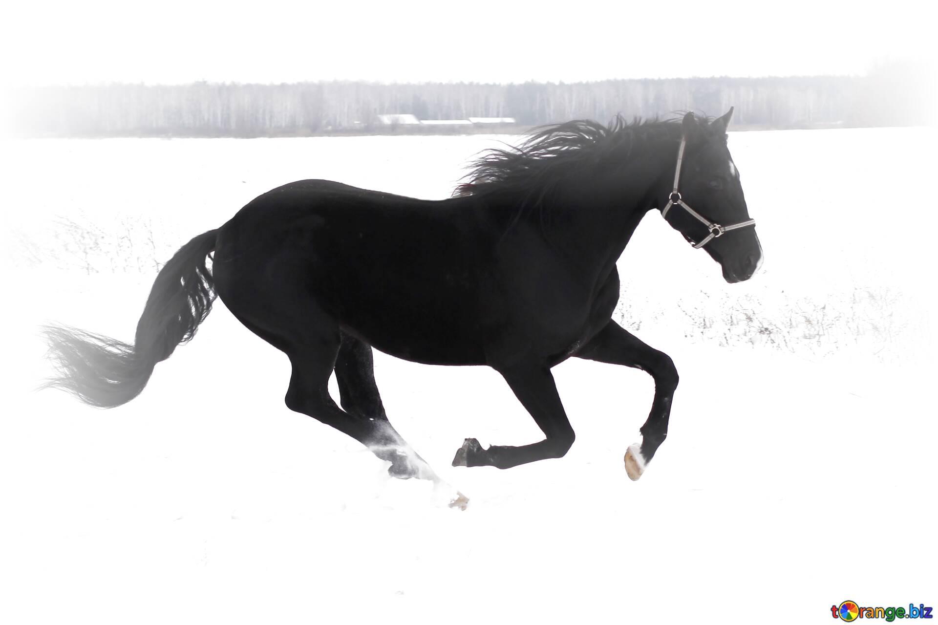 Descargar Foto Gratis Horse Running In The Snow En Cc By Licencia Stock De Imagenes Gratis Torange Biz Fx 65055