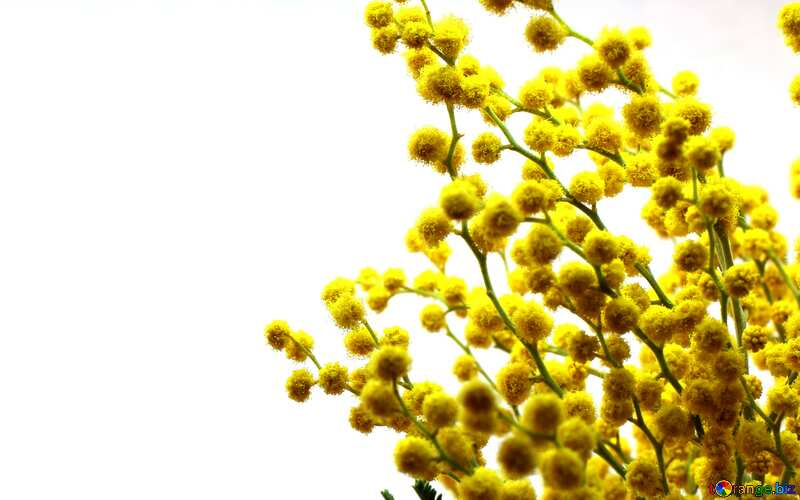 Branch yellow  mimosa flowers №20469