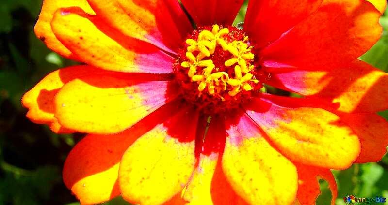 Couverture.  de orange fleur Commandant Tsiniya . №3219