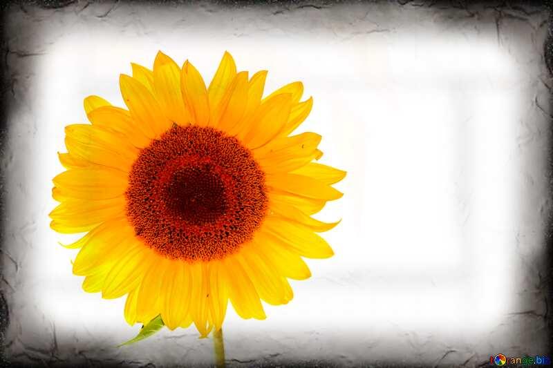 Image avec espace pour le texte. Carte postale avec fleur sur fond blanc. №32793