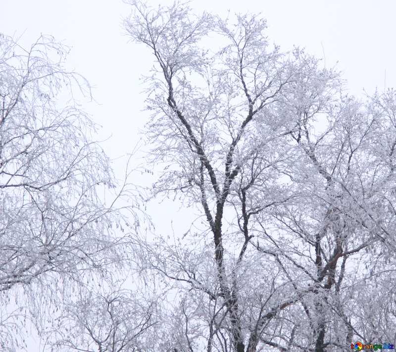 hoarfrost trees №436
