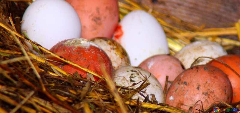 Couverture. Des œufs de poule domestique dans le poulailler. №773