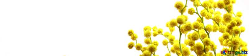 Coperchio. Ramo di mimosa. №20469
