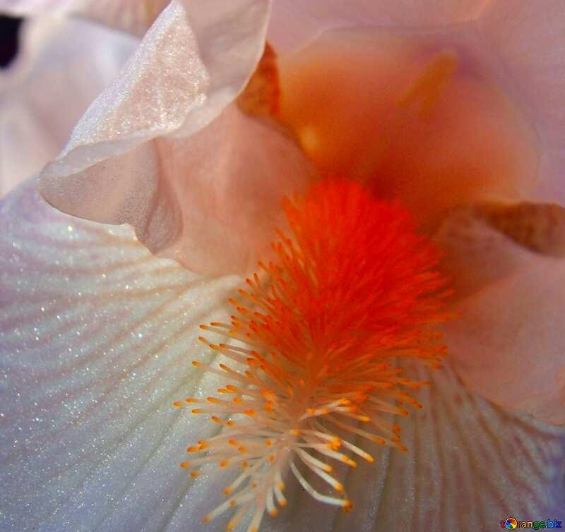 Couverture. Blanc  iris.  Macro.. №9785
