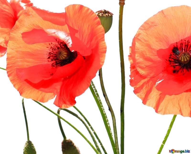 poppies №37135