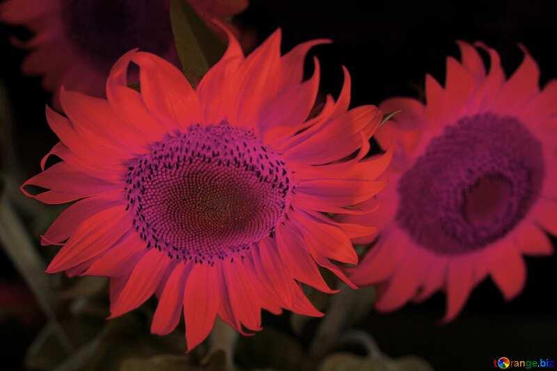 Colore rosso. Bellissimi fiori di girasole. №32817