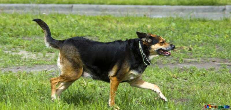 Dog running on grass №14705