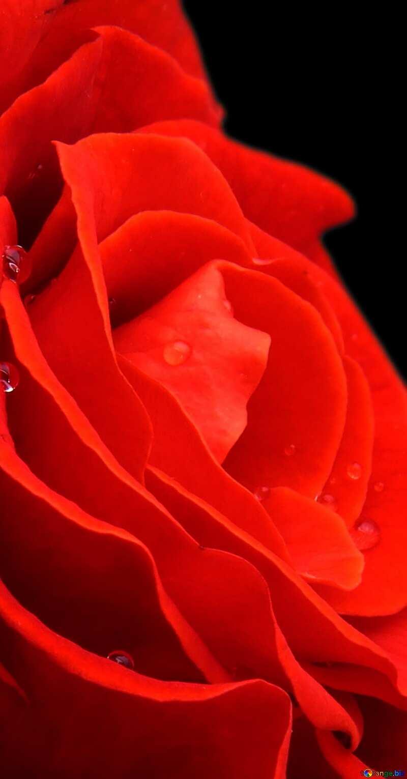 Red flower rose №17106