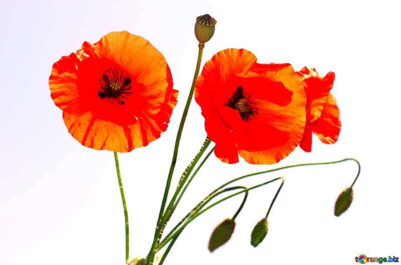 Bouquet of poppies isolated №37136