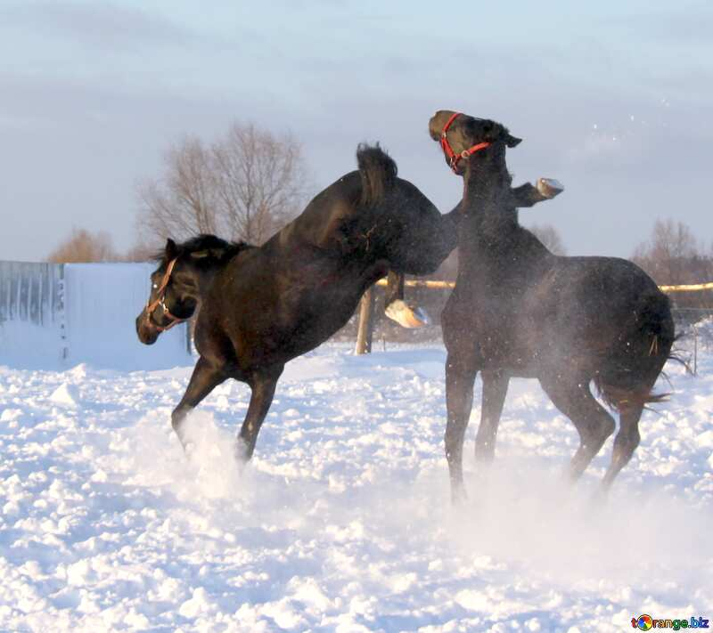 a horse kicking an other horse №3959