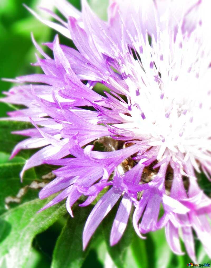 Cornflower  blur frame card background №3248