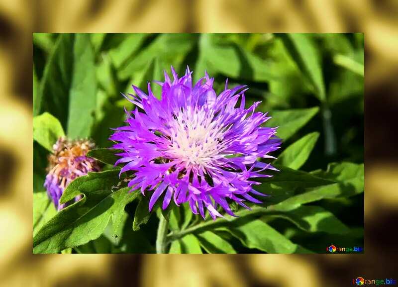 Violet Cornflower №3248
