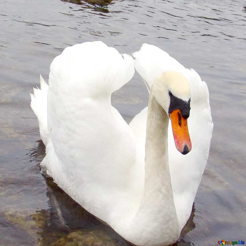 White Swan №385
