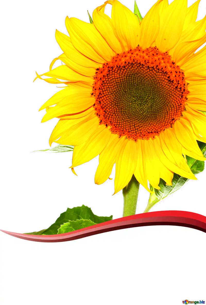 good sunflower card №32780